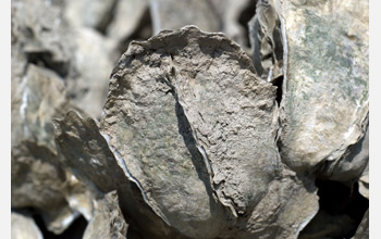 Close-up photo of oysters bonded to each other.