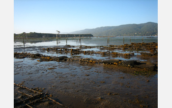 Photo of extensive oyster reefs that line Tomales Bay.