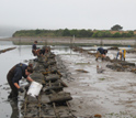 Photo of Bodega Marine Lab scientists collecting oysters for research in Tomales Bay.