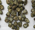 Photo of adult oysters soon to be separated for culturing for lab experiments.