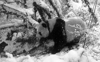 Photo of a panda wearing a GPS collar meandering through the Wolong Nature Reserve