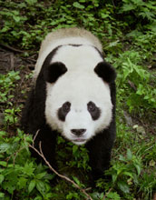 Photo of a giant panda