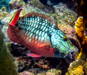 Photo of a parrotfish about to bite a coral