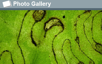 Image of a pattern created by a leaf miner insect with the words Photo Gallery.
