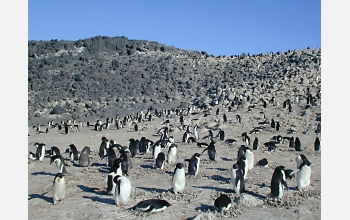 The Cape Royds Adelie penguins