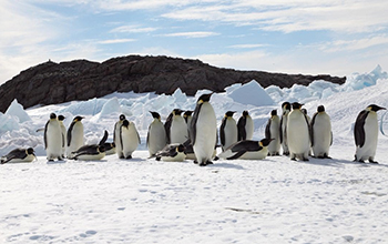 Microevolution of Adelie Penguins