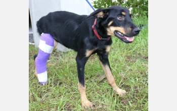 A lost dog with a broken leg received treatment at a temporary animal shelter.