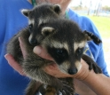 A Bay Area Disaster Animal Response Team (DART) member cares for two orphaned racoons.