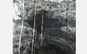 Photo of roots hanging from the roof of a lava tube.