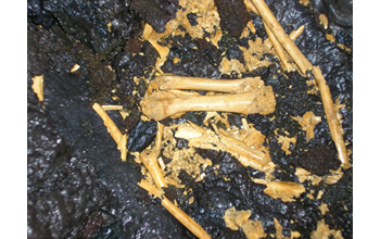 Photo of bird bones from an extinct giant goose that once inhabitated the big island of Hawaii.