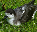 Photo of the endangered Hawaiian petrel resting after a long foraging trip at sea.