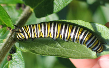 Photo of a monarch caterpillar.