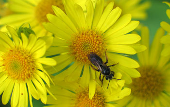 Photo of a pollinating insect on a flower.