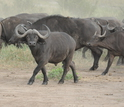 Buffalo herd on the move