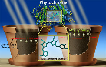 Scientists revealed the 3-D shape of phytochrome when it complexes with a light-sensing pigment.