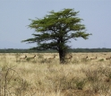 Antelopes living today in the grasslands of the Turkana Basin.