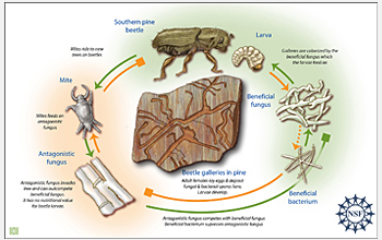 A diagram shows the complex interactions of beetles, mites, two fungi and a bacterium.