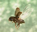 Photo of an adult southern pine beetle in flight.