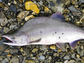 A pink salmon on riverbed sediment.
