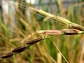 Biologists will investigate the red rice genome to discover whether it was an introduced plant.