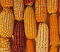 Economically important maize is the subject of research funded by the new NSF awards.