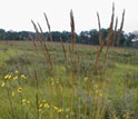 Photo of Indian Grass and other prairie plants at Cedar Creek.