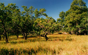 Photo of an oak savanna with interspersed oaks and grasses at Cedar Creek.