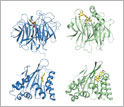 Four illustrations of enzyme structures.