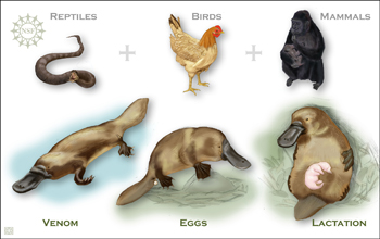 A platypus shown in three ways with a snake, a bird and a gorilla shown to match its attributes.
