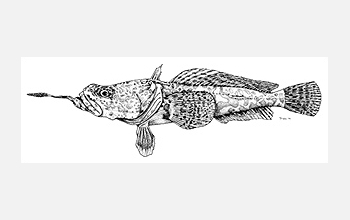 Drawing of Antartic brainbeard plunderfish