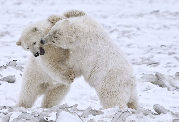Species such as polar bears, badgers and wolverines share similar foot traits with humans.