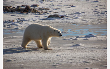 Photo of a female polar bear walkin along the shore of Canada's Hudson Bay, waiting for ice to form.