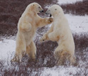 Photo of two male polar bears sparing near Hudson Bay.