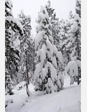 Photo showing branches of lodgepole pine weighed down by a heavy snowfall.