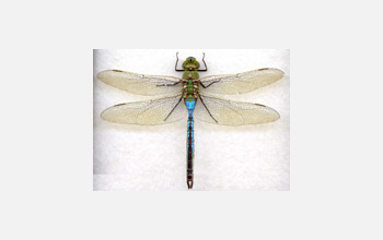Photo of a dragonfly.