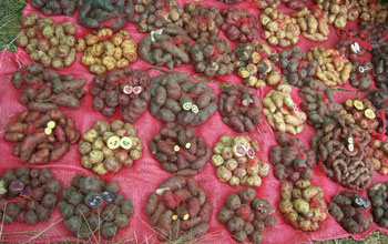 various types of potatoes that are grown in Peru.