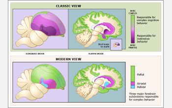 illustration comparing views of avian brain