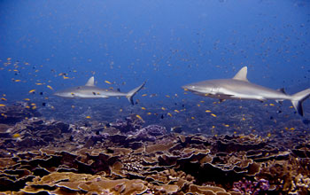 Image of sharks and smaller fish in a coral reef.