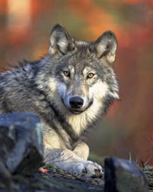 "Wolves are among the many ""apex<br>predators"" affected by human activities.<br> Credit: National Park Service"