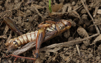 Photo of a dead grasshopper.