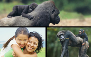 Photos of three primates with their young, Western lowland gorilla, human, and common chimpanzee.