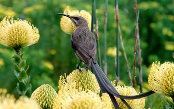 Photo of a Cape sugarbird resting on a protea flower.