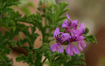 Photo of Pelargoniums.