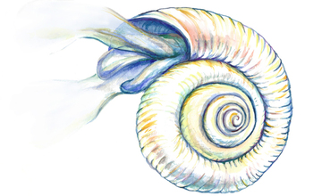 Illustration of a Southern Ocean pteropod, a mollusk endangered by ocean acidification.