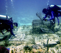 Photo of divers assessing algae cover on corals