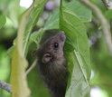 Rat in a Pisonia tree at Palmyra Atoll.