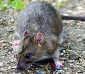 Foto de um rato marrom.