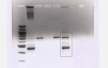 Photo of a genetic analysis of a female red-tailed hawk.