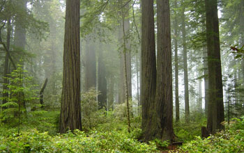 Photo of tree trunks in a coastal redwood forest