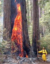 Fireman standing next to burning California redwood tree